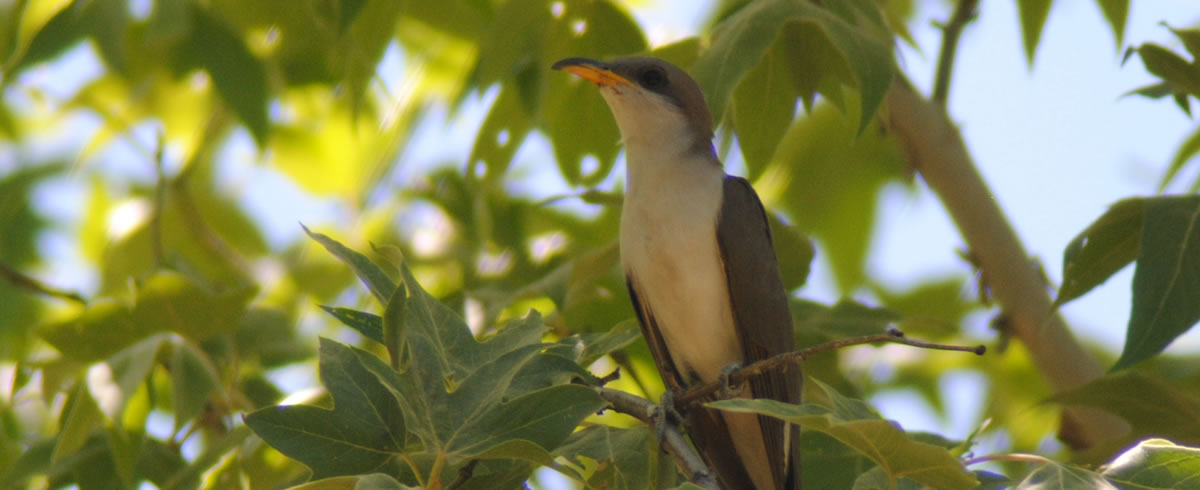 yellow-billed cuckoo image